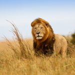 images-of-an-lion