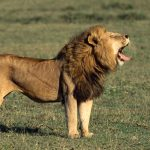 lion-male-roar