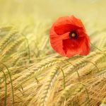 red_poppy-wallpaper-1280×960